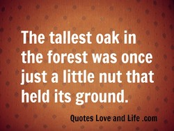 The tallest oak In 